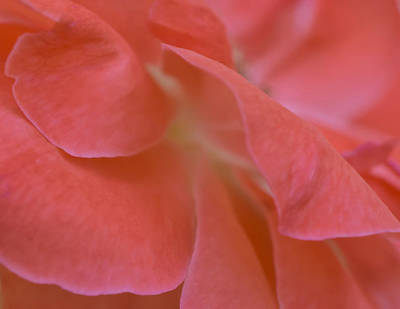 Art Print featuring the photograph Rose Petals by Stephen Anderson