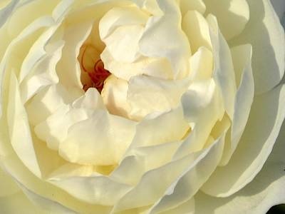 Flower Photograph - Rose Petals by Zina Stromberg