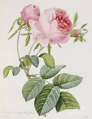 Redoute Painting - Rose by Pierre Joesph Redoute