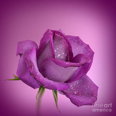 Photograph - Rose Pink Rose by Shirley Mangini