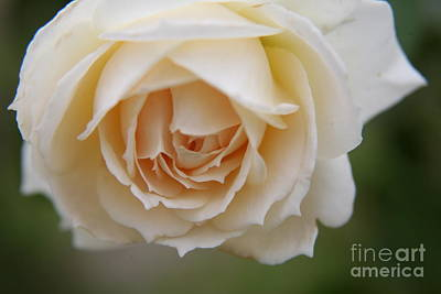 Photograph - Rose... Pure And Simple  by Lynn England