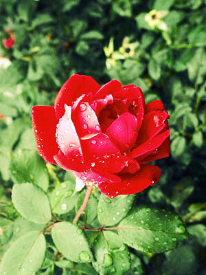 Photograph - Rose Red by Kristie  Bonnewell