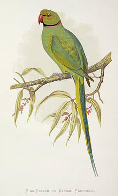 Parakeet Wall Art - Photograph - Rose-ringed Parakeet by Natural History Museum, London/science Photo Library