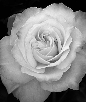 Photograph - Rose by Robert Lozen