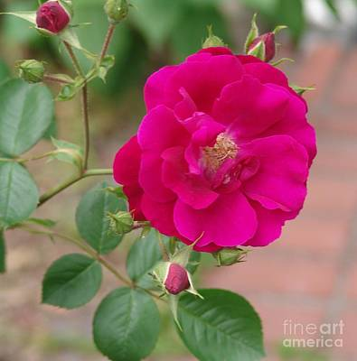 Photograph - Rose by Rod Ismay