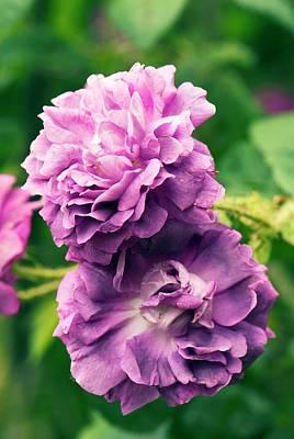 Rosaceae Photograph - Rose (rosa ' William Lobb') Flowers by Adrian Thomas
