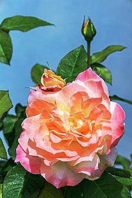 Arc De Triomphe Photograph - Rose (rosa 'arc De Triomphe') by Brian Gadsby
