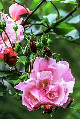 Rosaceae Photograph - Rose (rosa 'blossomtime') by Brian Gadsby