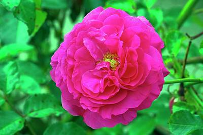 Rose (rosa 'karlsruhe') Art Print by Neil Joy/science Photo Library