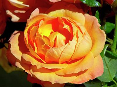 Floribunda Photograph - Rose (rosa 'lady Marmalade ') Flower by Ian Gowland