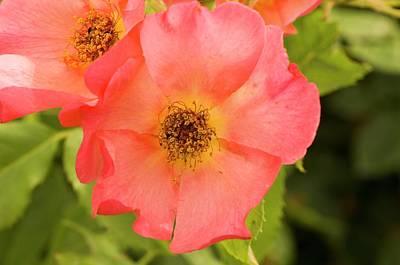 Rose (rosa 'morning Mist') Art Print
