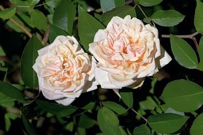 Rose (rosa 'reve D'or') Art Print