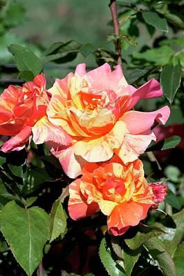 Rose (rosa 'sorbet Fruite') Art Print