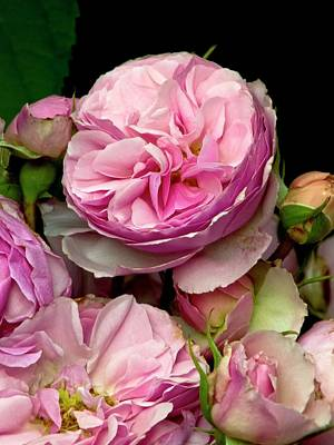 Rosaceae Photograph - Rose (rosa 'the Enchantress') Flowers by Ian Gowland