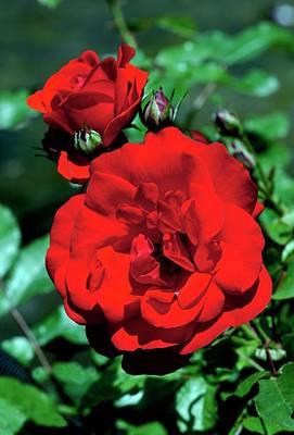 Rose (rosa 'trumpeter') Art Print