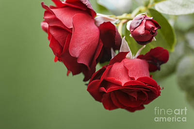 Photograph - Rose Rouge by Trevor Chriss