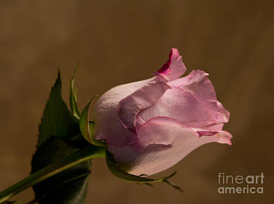Photograph - Rose by Sandra Clark