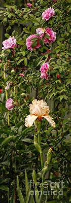 Photograph - Rose Scent Carries One Away by Marcia Lee Jones