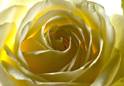 Rosaceae Photograph - White Rose  by Scott Carruthers