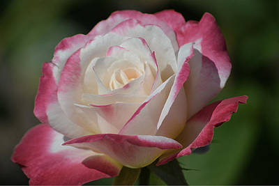 Photograph - Rose -seasons Of Life- Color by Brad Thornton