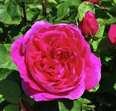 Deep Pink Photograph - Rose Sophy's Rose (rosa 'auslot') by Neil Joy