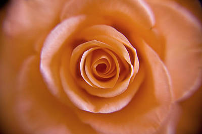 Photograph - Rose Spiral 2 by Kim Lagerhem