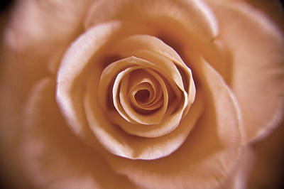 Photograph - Rose Spiral 3 by Kim Lagerhem