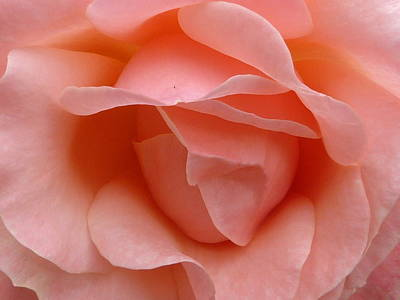 Photograph - Rose Tell Me Your Secret 1 by Debra Collins