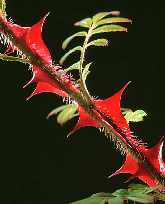 Rose Thorns Art Print by Sheila Terry/science Photo Library
