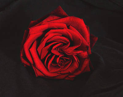 Photograph - Red Rose On Black by Tom Conway