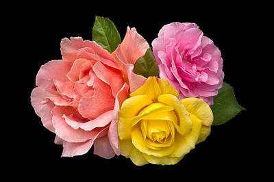 Photograph - Rose Trilogy by Jane McIlroy