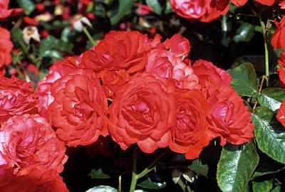 Rose 'trumpeter' Flowers Art Print