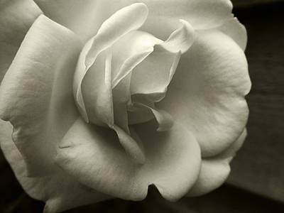 Photograph - Rose White by Tanya Jacobson-Smith