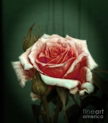 Photograph - Rose20122 by Marjorie Imbeau