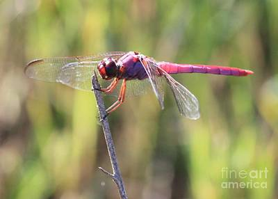 Dragonfly Photograph - Roseate Skimmer  by Carol Groenen