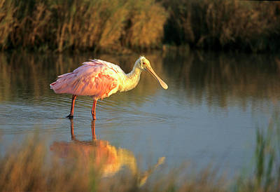 Roseate Spoonbill Photograph - Roseate Spoonbill (ajaia Ajika by Richard and Susan Day