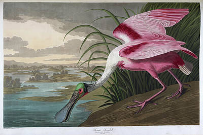 Spoonbill Wall Art - Photograph - Roseate Spoonbill by British Library