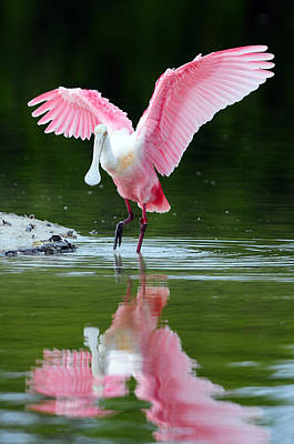 Spoonbill Wall Art - Photograph - Roseate Spoonbill by Clint Buhler
