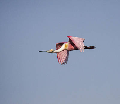 Photograph - Roseate Spoonbill by Doug Lloyd