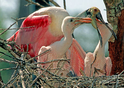 Feeds Chicks Photograph - Roseate Spoonbill Feeding Young At Nest by Millard H. Sharp