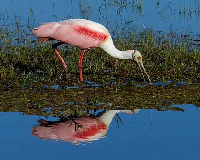 Photograph - Roseate Spoonbill by Grace Dillon