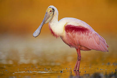 Photograph - Roseate Spoonbill In Breeding Plumage by Tim Fitzharris