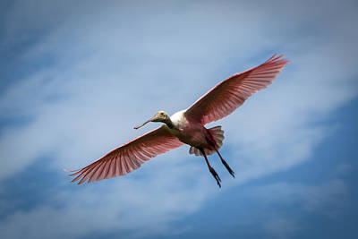 Photograph - Roseate Spoonbill In Flight by Gregory Daley  PPSA