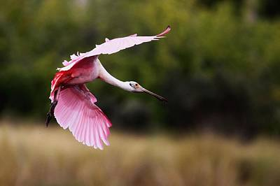 Photograph - Roseate Spoonbill In Flight by Ira Runyan