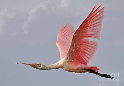 Roseate Spoonbill In Flight Art Print by Kathy Baccari