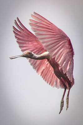 Photograph - Roseate Spoonbill Landing by Gregory Daley  PPSA