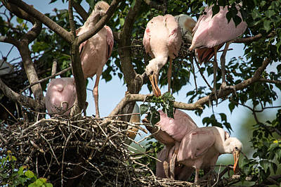 Photograph - Roseate Spoonbill Nest by Gregory Daley  PPSA
