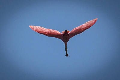 Photograph - Roseate Spoonbill Overflight by Gregory Daley  PPSA