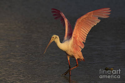 Photograph - Roseate Spoonbill Photograph by Meg Rousher