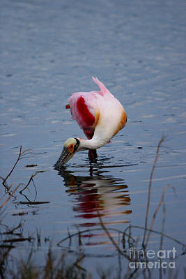 Photograph - Roseate Spoonbill Twist by John F Tsumas
